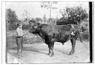Westflandrica - Koeienwachter