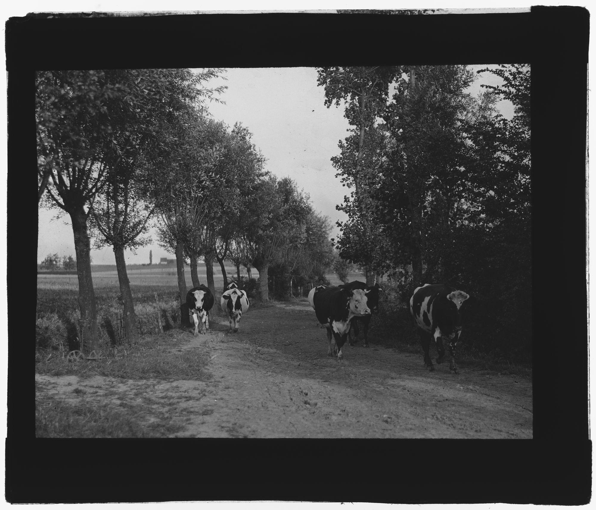 Landschap met koeien