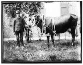 Westflandrica - Man met rund