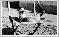 Westflandrica - Katten