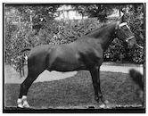 Westflandrica - Paard