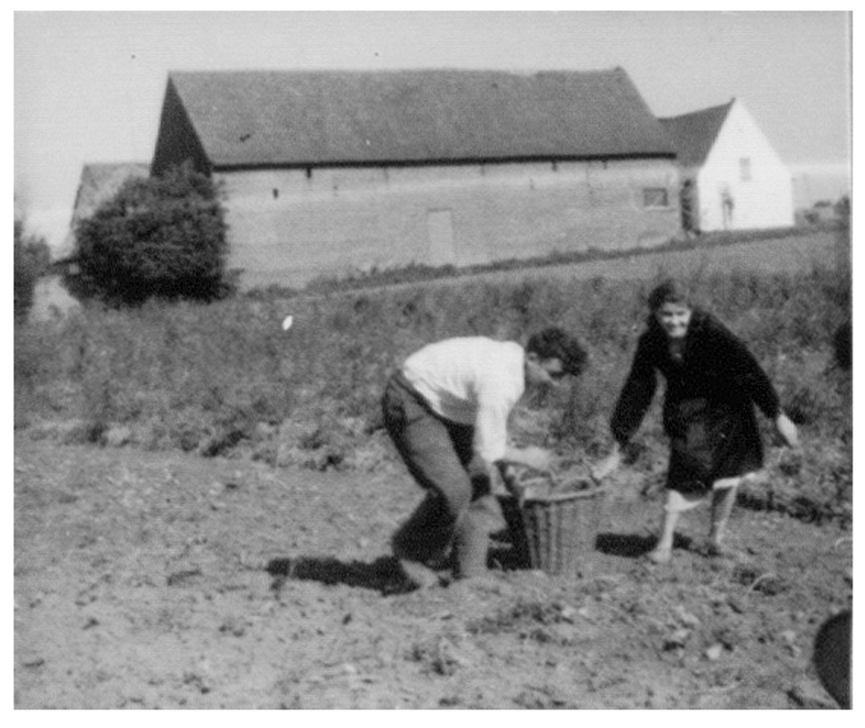 Westflandrica - Aardappeloogst